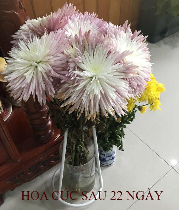 Gói dưỡng hoa Longlife Israel 8