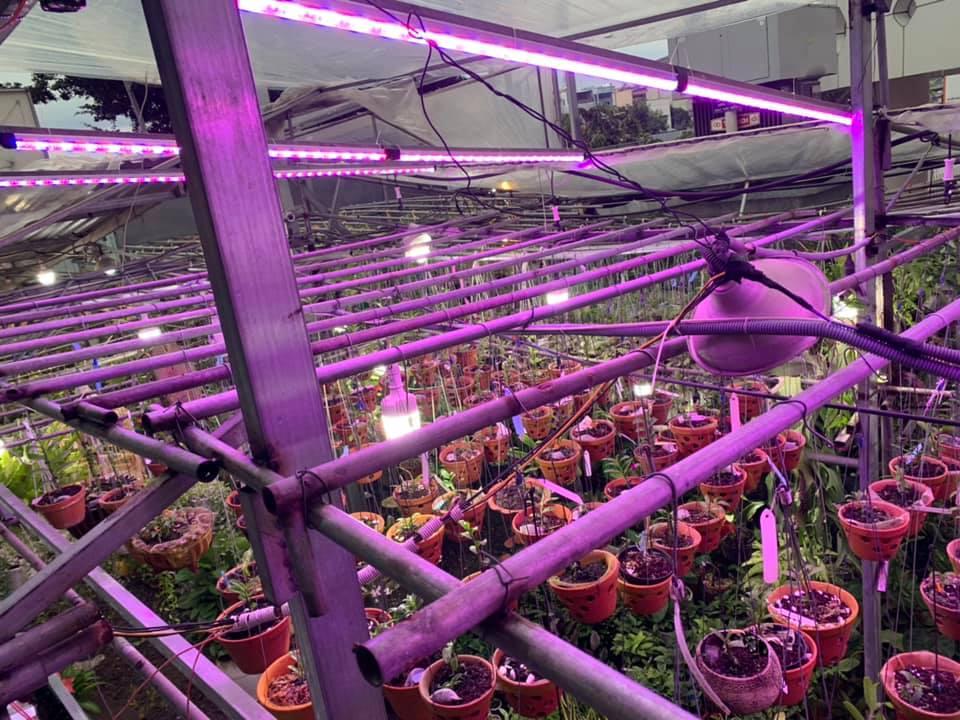 Trồng hoa lan với đèn quang hợp